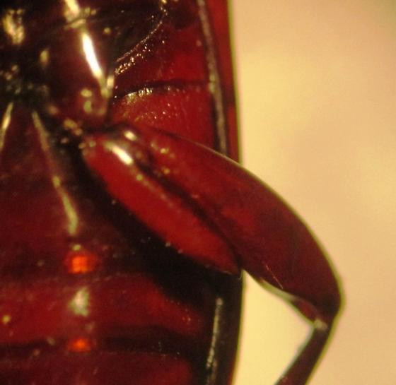 Pterostichus acutipes kentuckensis  - Pterostichus acutipes