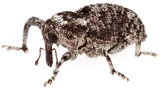Cryptorhynchinae - Episcirrus brachialis