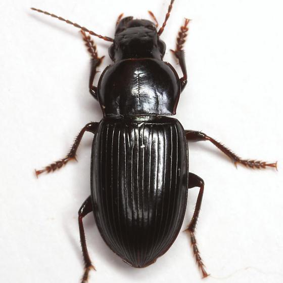Notiobia mexicana (Dejean) - Notiobia mexicana