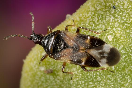 Minute Pirate Bug - Anthocoris nemoralis