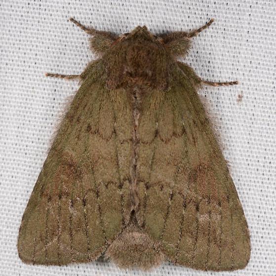 Heterocampa guttivitta - Misogada unicolor - male