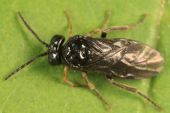 sawfly - Stethomostus fuliginosus - male