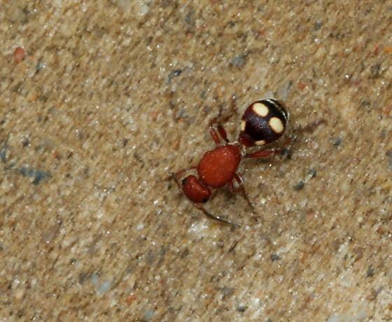 Dasymutilla quadriguttata - female