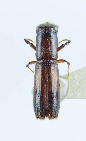 Teredidae? - Oxoplatypus quadridentatus
