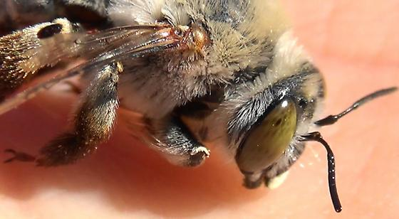 The Pale Bee (lateral head) - Centris pallida - female
