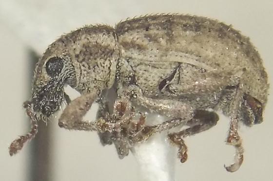 Mesagroicus oblongus Buchanan - Mesagroicus oblongus