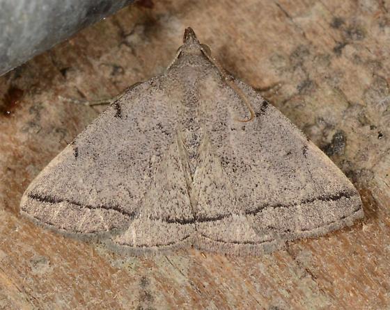 Zanclognatha n-sp - Zanclognatha new species - Zanclognatha n-sp