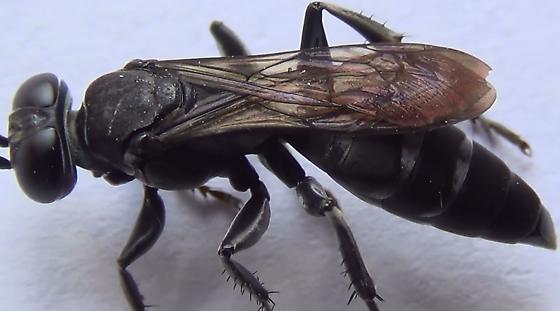 Square-headed Wasp Body Scan (wings #2) - Liris - female