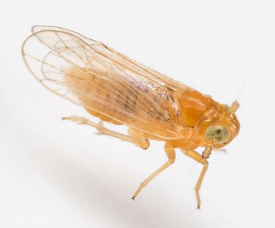 Planthopper - Muirodelphax arvensis
