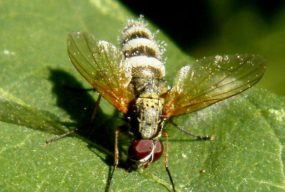 Root-Maggot Fly with Fungus - male