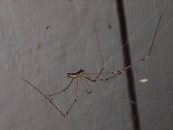 Cellar Spider, male - Holocnemus pluchei - male