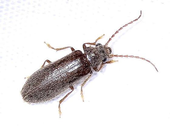 Soft-bodied Plant Beetle (Anorus piceus) - Anorus piceus