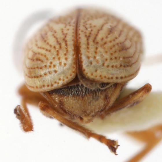 Pachybrachis immaculatus Jacoby - Pachybrachis immaculatus