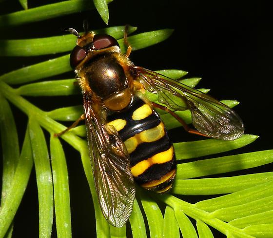 unidentified Syrphidae - Eupeodes fumipennis
