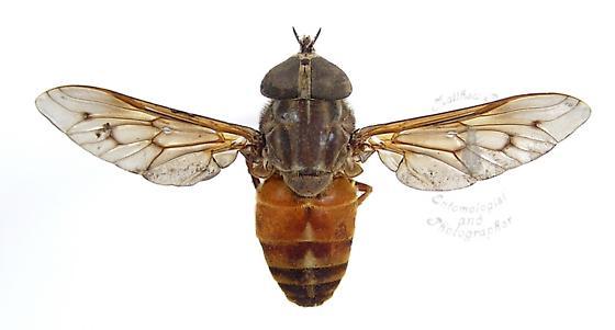 Horse Fly - Tabanus limbatinevris - female