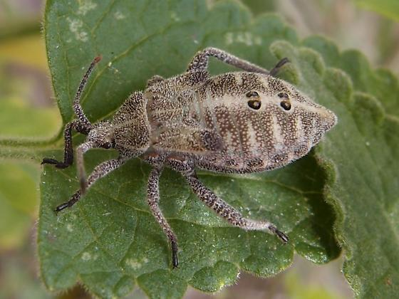 bug nymph?