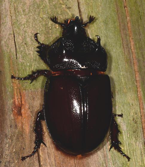 Strategus - Ox Beetles - Strategus - male