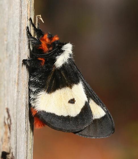 Moth - Hemileuca maia