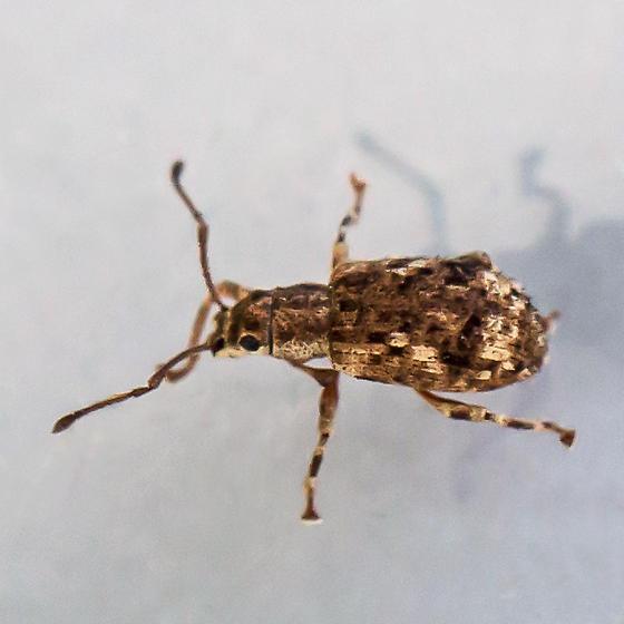 oriental broad-nosed weevil - Pseudoedophrys hilleri