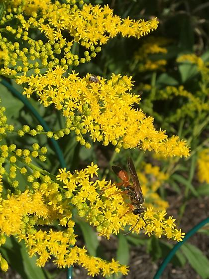 Fast moving Wasp-like insect on golden rod - Sphex ichneumoneus