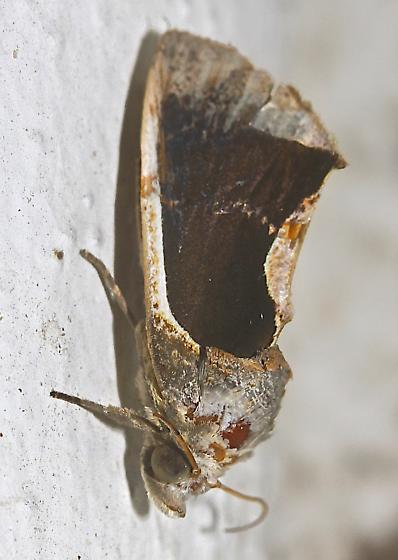 Moth - Gonodonta sinaldus