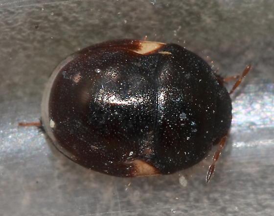Negro Bug - Cydnoides renormatus