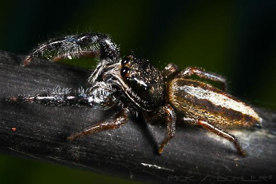 Lily pad stalker / jumping spider,Marpissa Bina - Marpissa bina - female