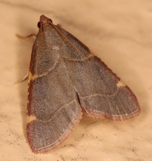 Hypsopygia olinalis - Hypsopygia binodulalis
