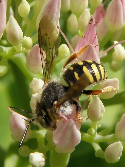 Unidentified insect 2011-11 - Anthidium oblongatum