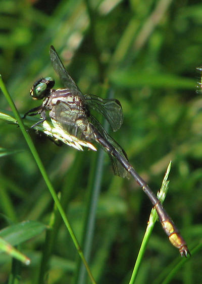 Laura's clubtail, male - relocated - Stylurus laurae - male