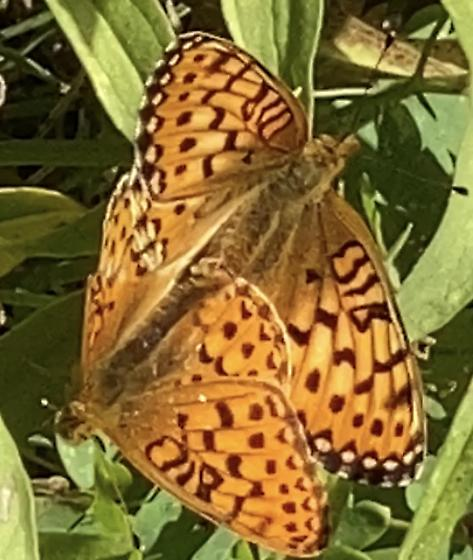 Frittilary - Speyeria - male - female