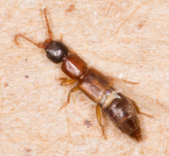 Staphylinidae, Rove Beetle to black light
