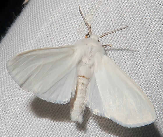 Fall Webworm Moth - Hyphantria cunea
