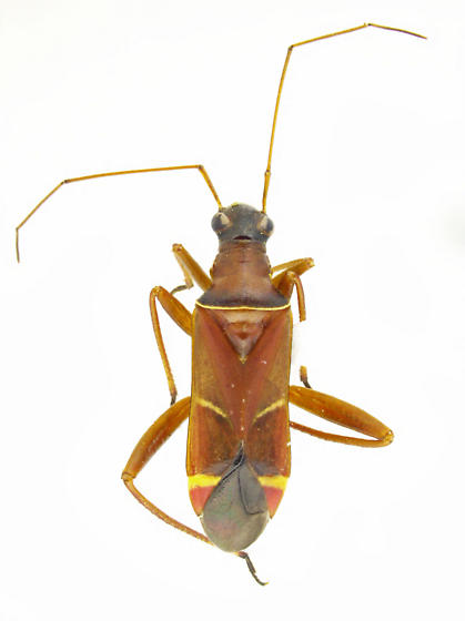 Cyphopelta modesta - female