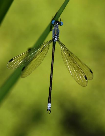 Amber-winged Spreadwing - Lestes eurinus - male