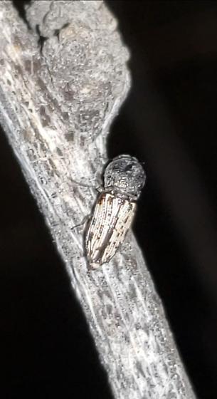 Paratyndaris knulli - female