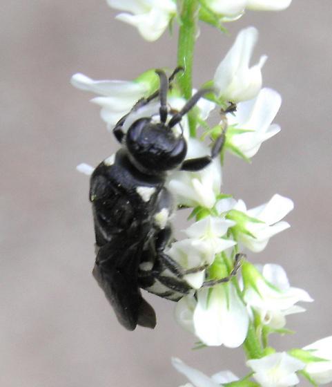 Hymenoptera - Epomidiopteron julii