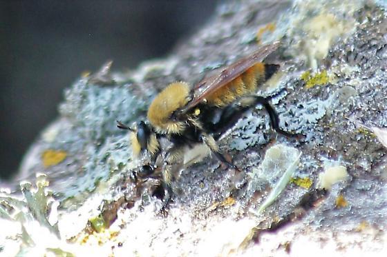 unknown high elevation Robber Fly  - Laphria engelhardti - female
