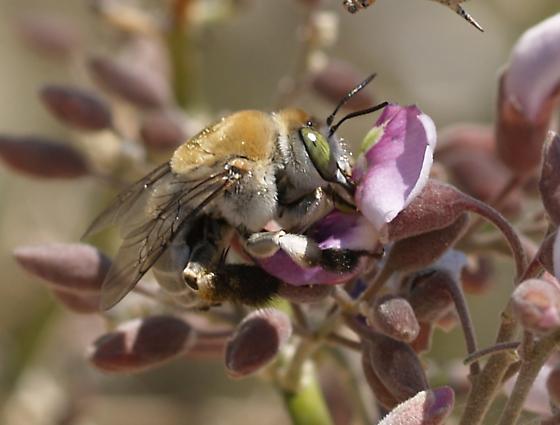 Huge Bees on Blooming Ironwood - Centris pallida