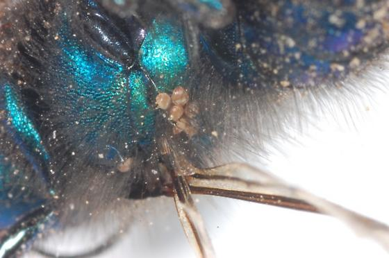 Megachilidae - Osmia ribifloris