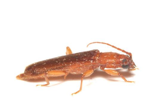 Cerambycidae, Flat Oak Borer, lateral - Smodicum cucujiforme