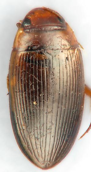 Diver #6 - Copelatus glyphicus