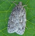 Bog Bibarrambla Moth - Bibarrambla allenella
