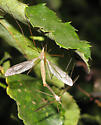 Flying Bug  - Tipula - male - female
