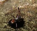 Pilophorus