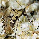FlowerLonghorn - Evodinus monticola