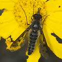 Another Thevenitemyia affinis on Eriophyllum - Thevenetimyia affinis - male