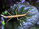 Indian Walking Stick - Carausius morosus