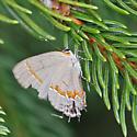 Hairstreak - Calycopis cecrops