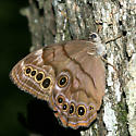 Northern Pearly-eye - Lethe anthedon - female